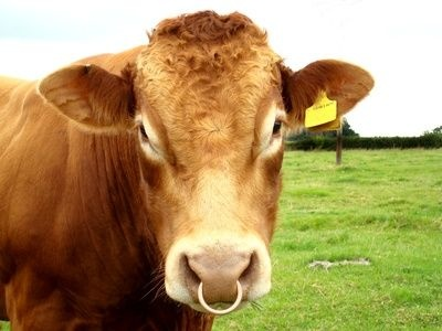 Cow nose with ring