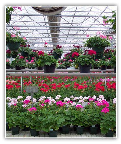 25 Best Ideas About Geranium Care On Pinterest Geranium