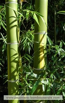 Fiche bambou : Phyllostachys vivax 'Huanvenzhu'