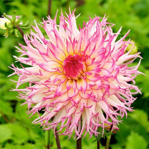 DAHLIA 'Jennie' (Dahlia cactus) : Ce genre comprend environ 25000 cultivars. Vivaces originaires du Mexique et d'Amérique centrale. Feuillage découpé vert ou pourpré. Ils sont classés en fonction de la forme de leur inflorescence et de leur taille. les différentes formes de fleurs et leurs sublimes coloris font du Dahlia un complément de décor indispensable aux massifs d'été et d'automne. Planter dans un sol riche et bien drainé, enterrer le tubercule sous 10 à 15 cm de terre. Dahlia cactus…