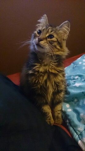 My beautiful Maine Coon cat Hunner