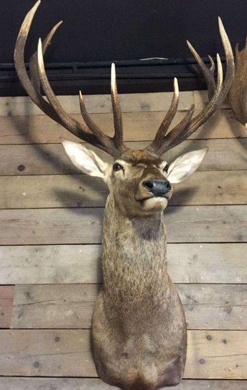 New arrival, big stuffed deer heads. De Jong Interieur