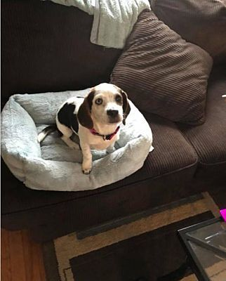 Pictures Of Amanda A Beagle For Adoption In New York Ny Who Needs