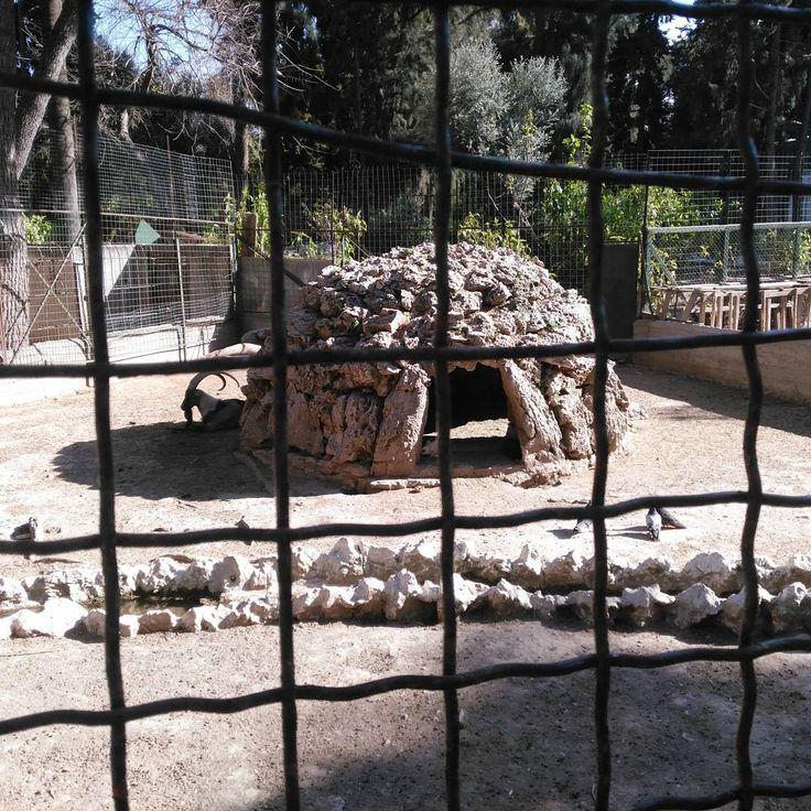 #nofilter #keçi #goat #national #garden #ulusal #bahçe #athens #atina #yunanistan #greece http://turkrazzi.com/ipost/1515895877460386758/?code=BUJi0TcgWPG