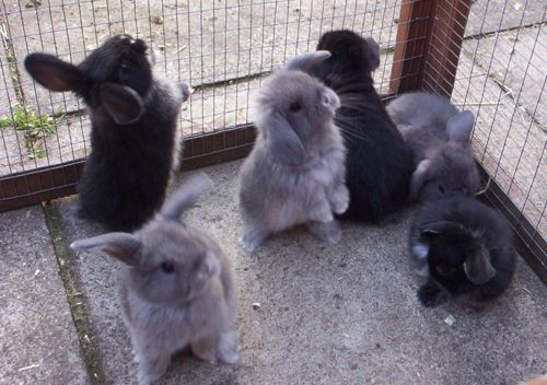 Mini Lop Bunnies, we have a black one and my girls are in LOVE with him!
