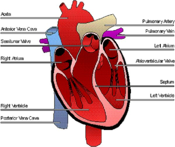 diagram of the human heart diagram of the human heart | healt, Muscles