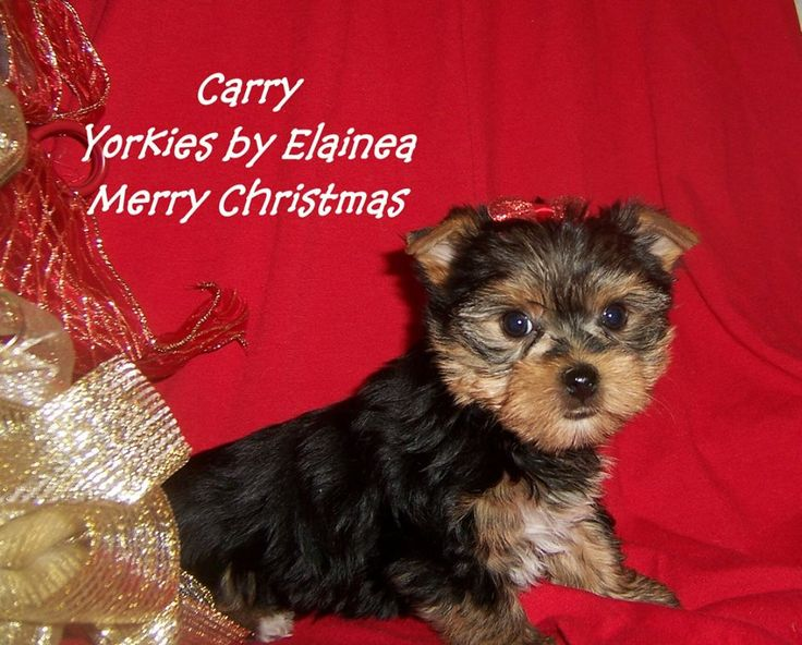 yorkies for sale in arkansas