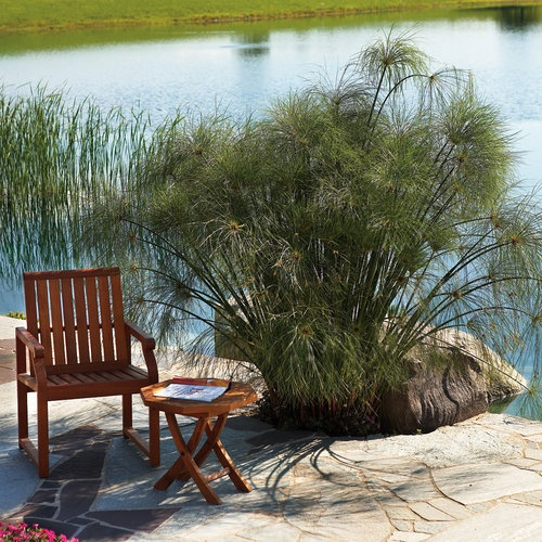 Graceful Grasses® King Tut® - Egyptian Papyrus - Cyperus papyrus