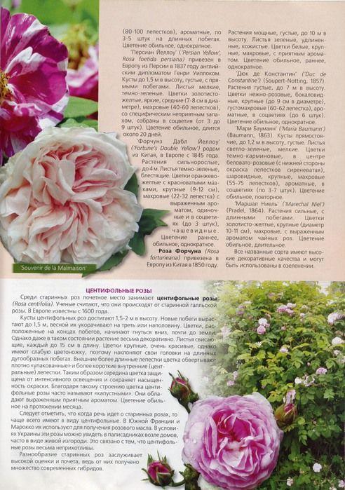 Все о плетистых розах. Обсуждение на LiveInternet - Российский Сервис Онлайн-Дневников