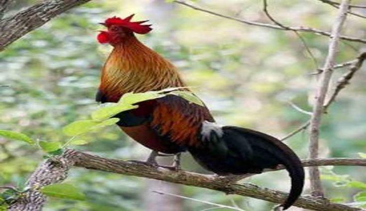 Ayam Hutan Merah Berkokok Nyaring di Alam Bebas (Sulawesi Red Junglefowl)