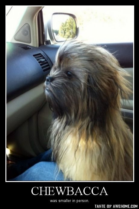 Much smaller...Puppies, Chewy, Halloween Costumes, Pets, Funny, Stars Wars, Chewbacca Dogs, Starwars, Animal
