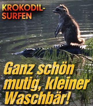 http://www.bild.de/news/ausland/alligator/hier-surft-ein-waschbaer-auf-einem-alligator-41360212.bild.html