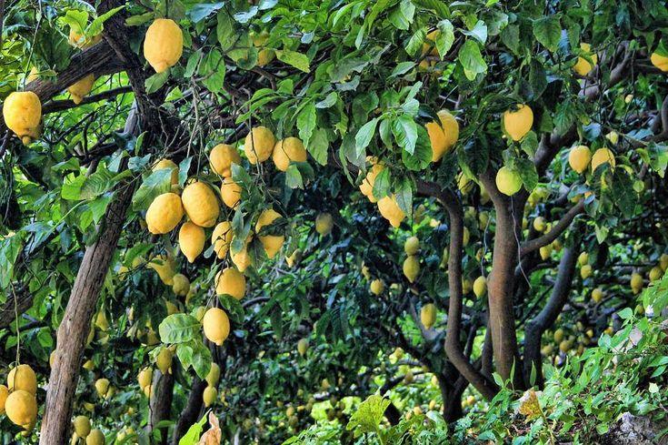 Quand planter un citronnier et comment l'entretenir ?