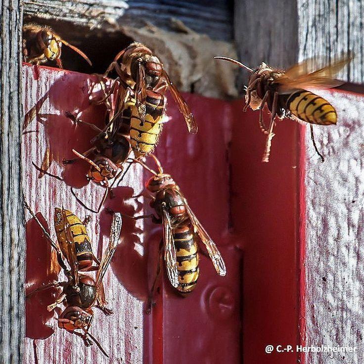 Anders als ihre Artgenossen sind #Hornissen grundsätzlich friedfertige Tiere die eher die #Flucht ergreifen als die #Konfrontation suchen. Sie sind ungefährlich und zudem auch noch #nützlich: Ein starkes #Hornissenvolk verfüttert pro Tag bis zu 500g #Insekten an seine #Brut und leistet somit das Tagespensum von fünf bis sechs #Meisenfamilien. Habt ihr welche im #Garten?  #Hornisse #hornet #wespen #insekten #natur #nature #insects #beneficialinsects #insectsofinstagram #instanature #garden
