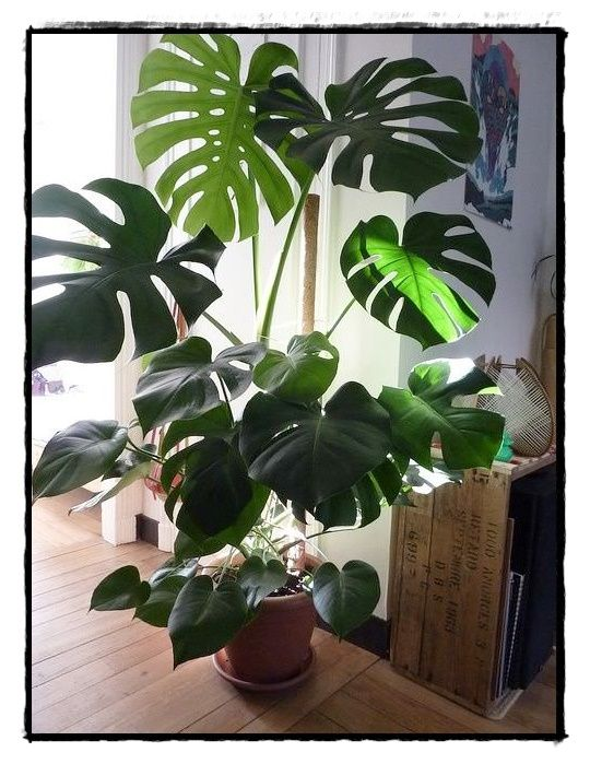 Split leaf philodendron good ideas pinterest plants large leaf plants and gardens - Big leaf indoor plants ...