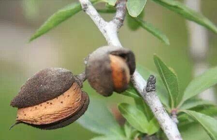Cultivo de almendro ecologico:-)