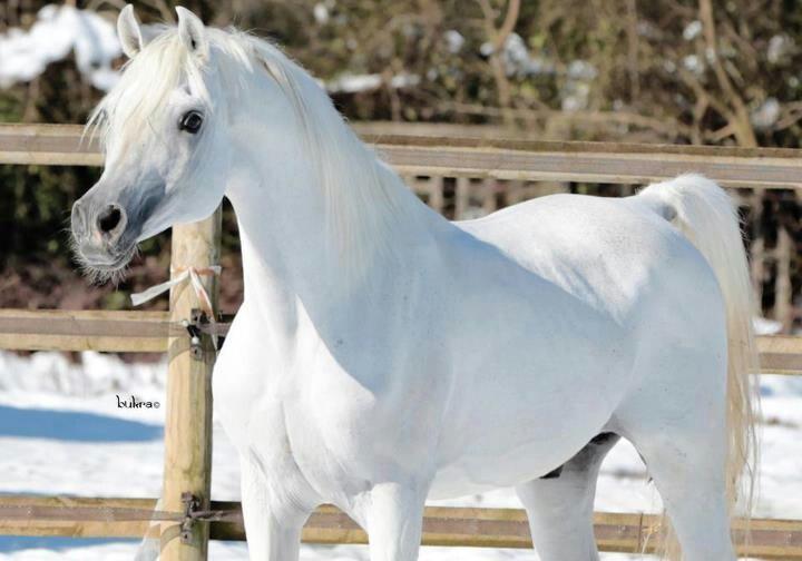 White arabian horse - photo#22