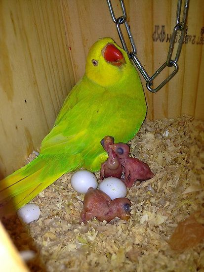 Indian Green Parrot Baby 19 best Indian ...