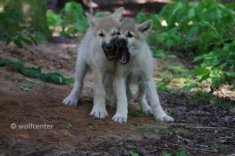 Wolf, agonistisches Verhalten, kämpfende Wölfe, drohende Wölfe, Imponierverhalten, raufende Welpen, Maulspiel, Maulrangeln, aufgerissenes Maul, Welpenzähne, Milchgebiss, weiße Wölfe zanken