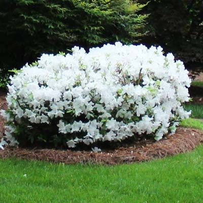 Only White Azalea that Blooms Spring, Summer and Fall