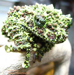Saurian Enterprises, Inc :: Keeping and Breeding the Mossy Frog (Theloderma corticale)