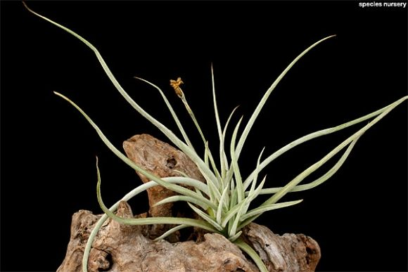 Tillandsia caliginosa/ティランジア・カリギノーサ | ABC | SPECIES NURSERY Photo