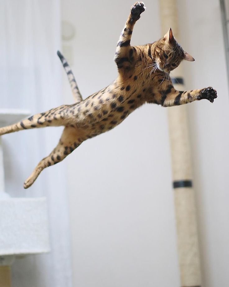 "aosorafuu.888: ""Riku-chan decided to risk bungee-jumping even though he was scared. Ready? 54321bungee!!! Bengal cat Riku-chan  りくちゃんは怖かったけれどもバンジージャンプをやってみることにした321バンジー!!!ってひもがついてないじゃん今日も元気なりくちゃんです  @henryslife2015 さんにバンジーりくちゃんの写真が選ばれ掲載してもらえましたありがとうございます是非見てね Thank you for feature!!!  #pawlidays #instacatadventcalendar #catoftheday #catsofinstagram #catofinstagram #INSTACAT_MEOWS #thecatawards #Excellent_Cats #Excellent_Kittens #instacat #cats_presidency #funpetloveclub #bestcats_oftheworld…"