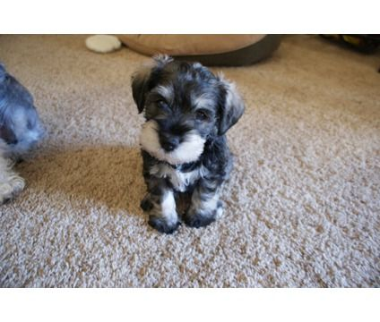 Miniature Schnauzer Puppies for Sale in Texas