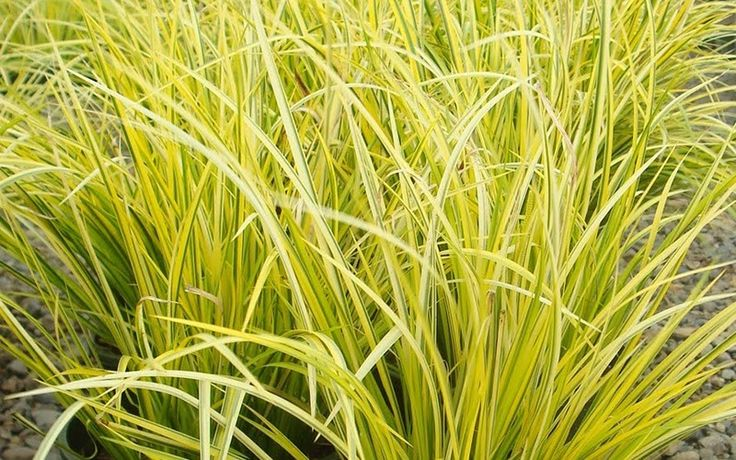 16 best part shade plants for northern minnesota images on for Yellow ornamental grass