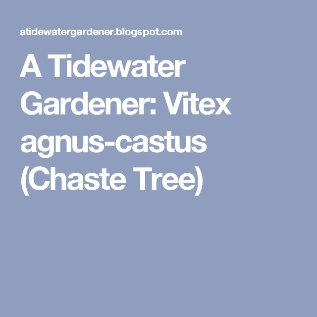 A Tidewater Gardener: Vitex agnus-castus (Chaste Tree)
