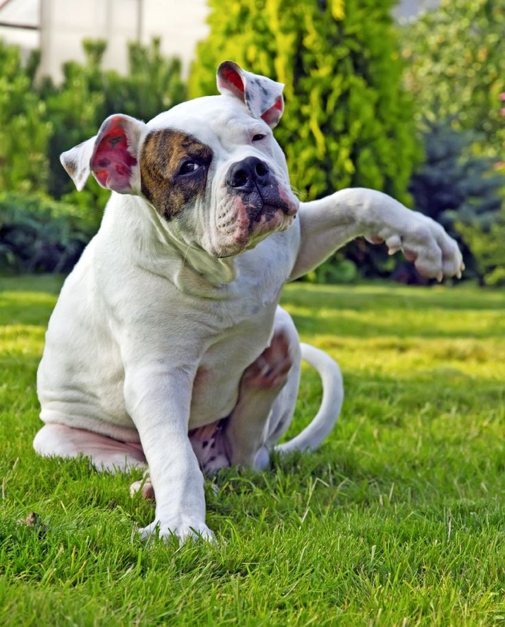 Аллергия у собак: лечение должно быть грамотным!