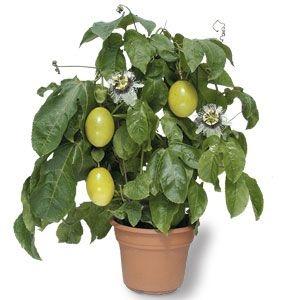 Passion fruit in a pot  http://3.bp.blogspot.com/_Stm4p5jjhJs/TNDOpPw4ErI/AAAAAAAAA_Y/qoOb7XY8wjg/s1600/passion+fruit.jpg