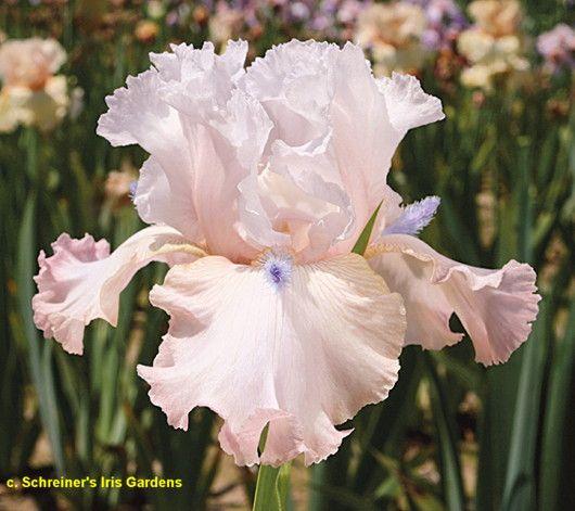 Tbpowerpoint Tbpthrut Iris Wiki Iris Flowers Iris Garden Iris