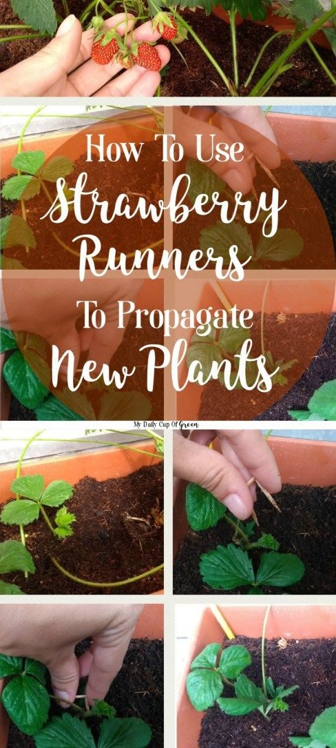 How to use strawberry runners to propagate new plants