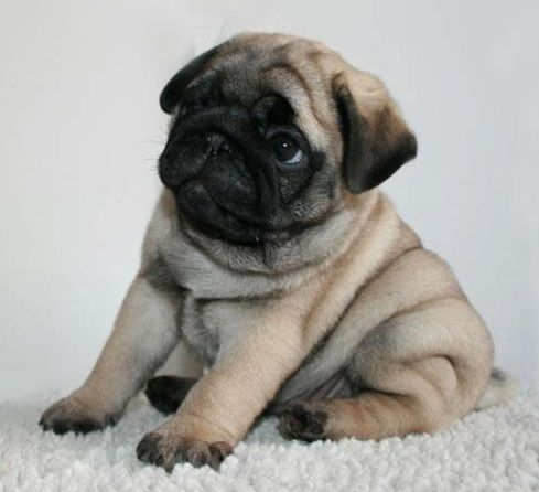 Cute Pug Puppy (rolly polly) LOL