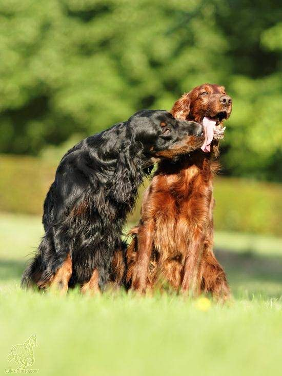 Best Dog Food For English Setters
