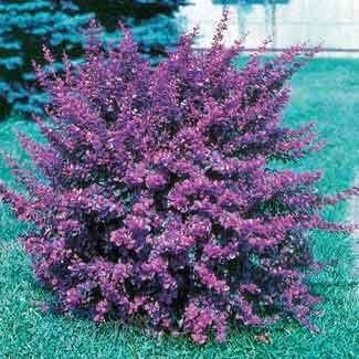 1000 images about flowering bush full sun on pinterest for Small flowering shrubs for full sun