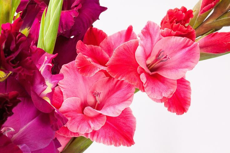 August birth month flowers and their meanings, gladiolus, poppy from The Old Farmer's Almanac.