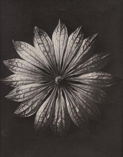 Karl Blossfeldt, Plant Study, Astrantia major, 1920