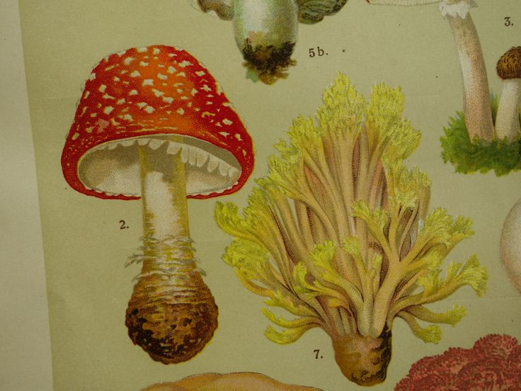 Antique botanical plate about mushrooms fungus - beautiful original old lithographic floral print with pictures of mushroom fungi Pilze by DecorativePrints on Etsy