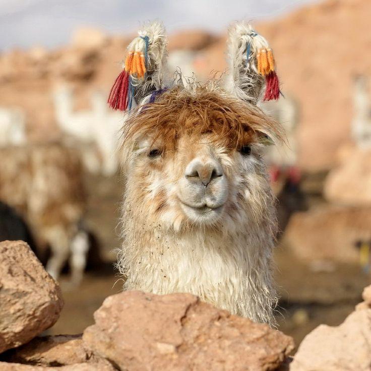South American alpaca