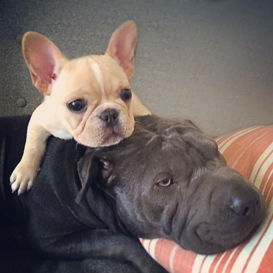 French Bulldog Puppy & a Sharpei, via Batpig & Me Tumble It
