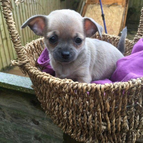Rare Blue Chihuahua Puppies Ready Now Crediton Devon