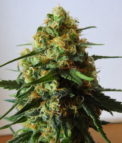 To place an order go to: www.legalcannabisshop.com Tel: +1 (908)485-7293 We have the largest variety of strains including OG Kush, pineapple kush, diesel sour, blue dream, lemon haze and more than 30 others.
