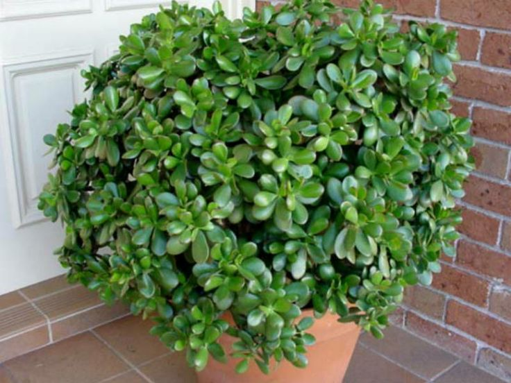 Crassula ovata money tree jade plant friendship tree - Planta de jade cuidados ...