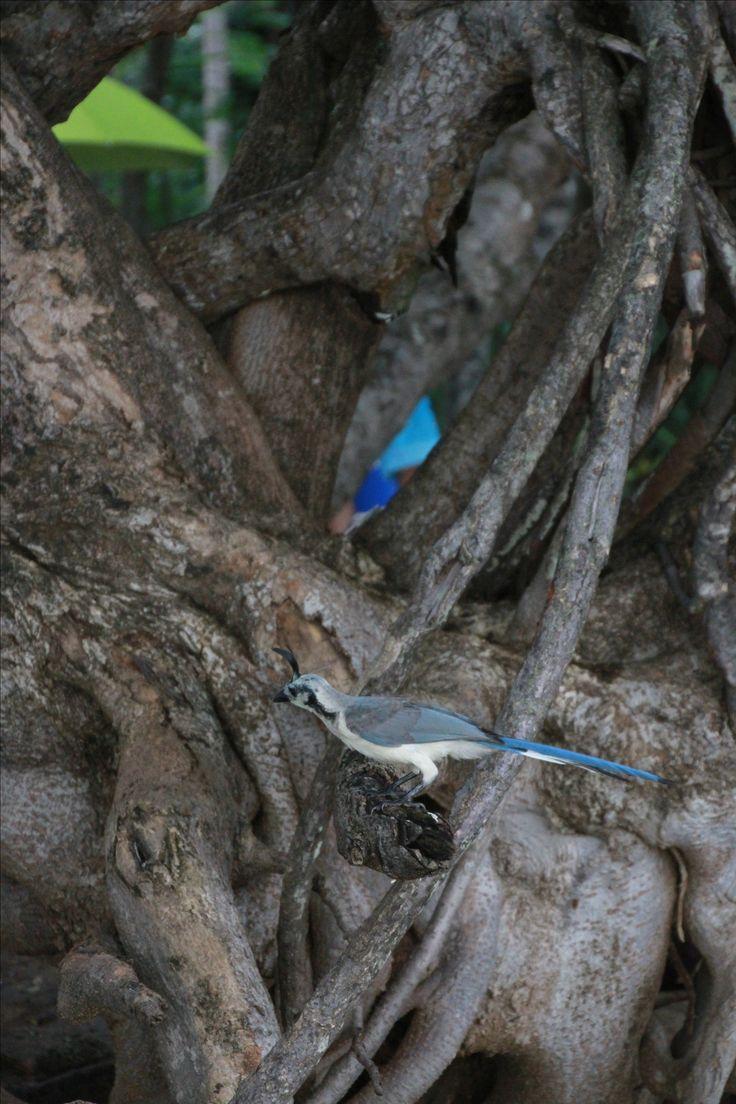 Wild birds of Costa Rica - Jaco