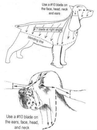 spaniel grooming diagram