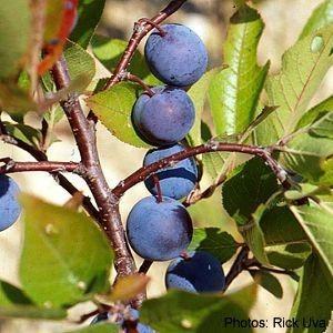 Prunus maritima Beach Plum