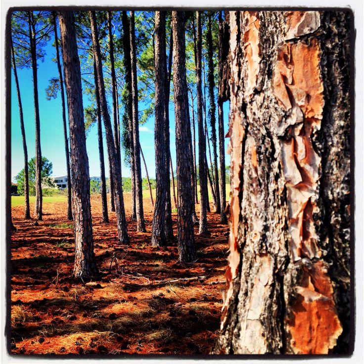 Pines, Bond University QLD