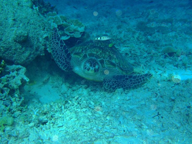gili-snorkel-turtle